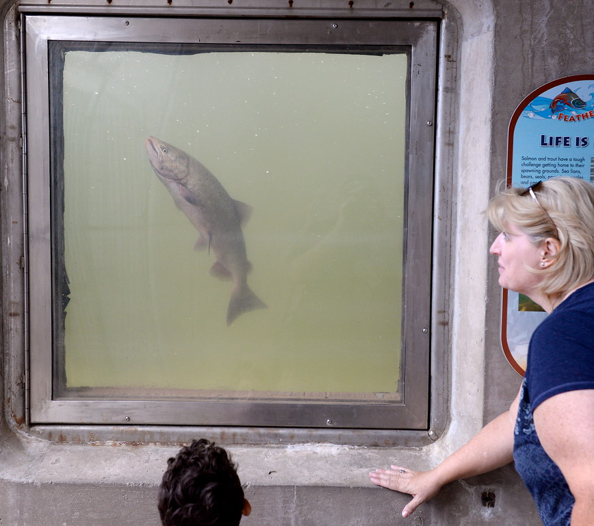 . People gather around to watch the salmon in the Feather River Fish Hatchery fish viewing windows in Oroville, Calif. Friday Sept. 22, 2017. (Bill Husa -- Enterprise-Record)