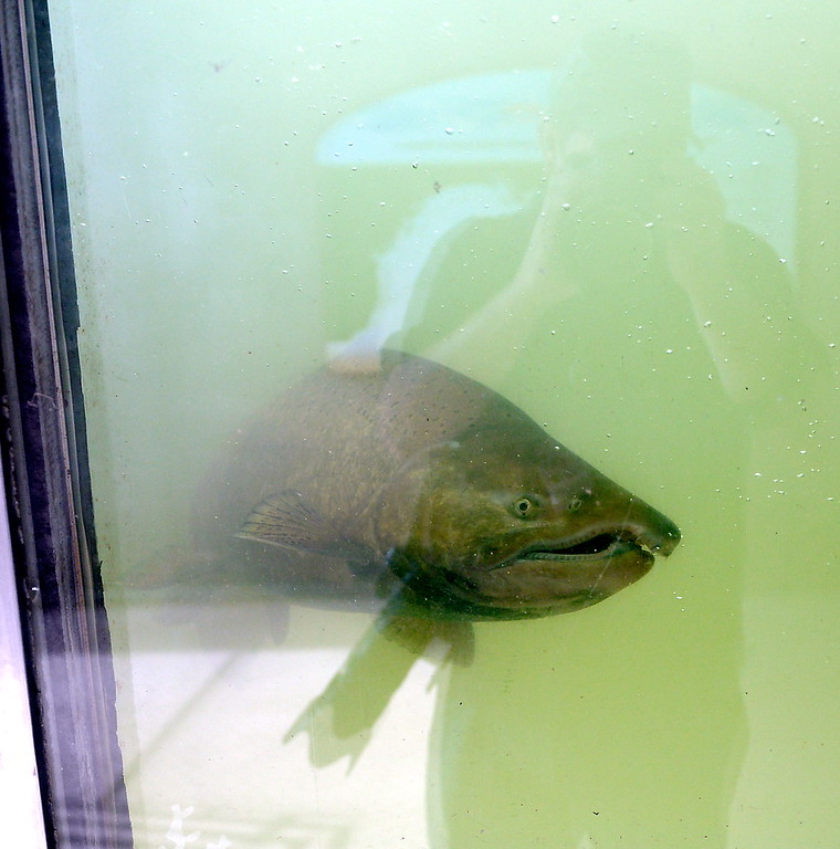 . Sometimes the most difficult part about photographing the salmon in the Feather River Fish Hatchery fish viewing windows is keeping oneself out of the picture in Oroville, Calif. Friday Sept. 22, 2017. (Bill Husa -- Enterprise-Record)