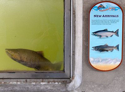 Just in time for the Salmon Festival, salmon arrive in the Feather River Fish Hatchery fish viewing windows in Oroville, Calif. Friday Sept. 22, 2017. (Bill Husa -- Enterprise-Record)