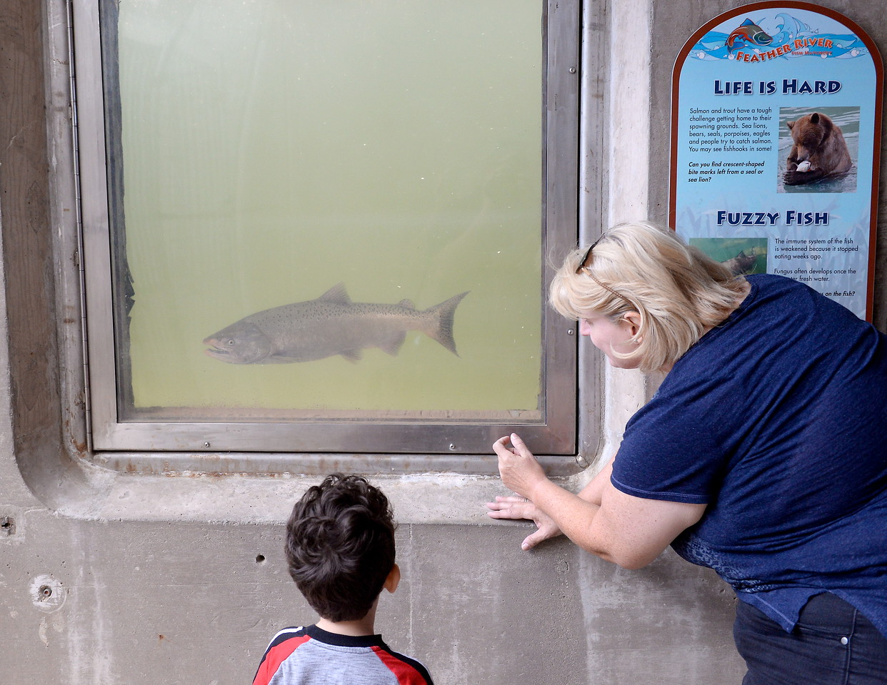 People gather around to watch the salmon in the Feather River Fish Hatchery fish viewing windows in Oroville, Calif. Friday Sept. 22, 2017. (Bill Husa -- Enterprise-Record)