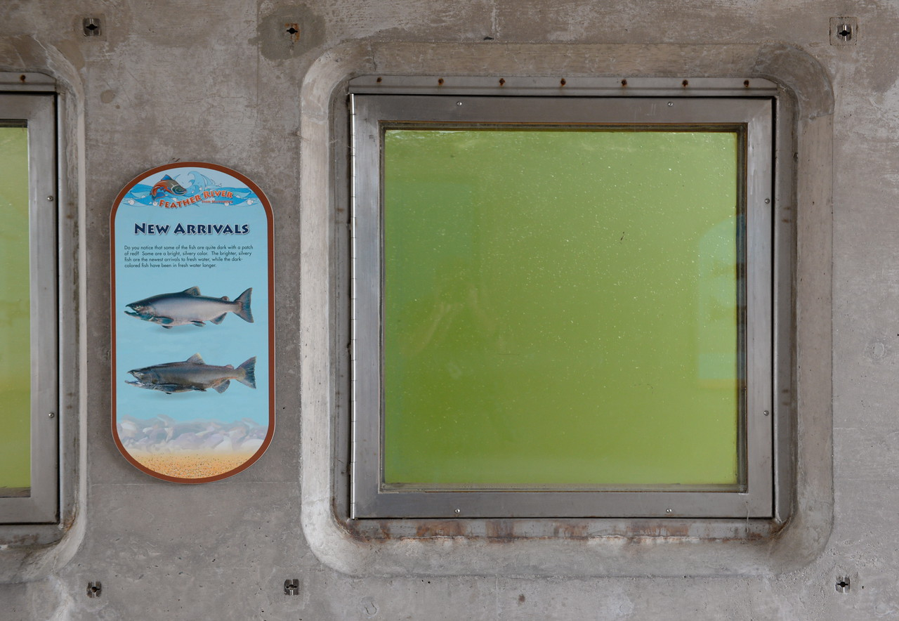 The new arrivals did not appear to have arrived yet at the Feather River Fish Hatchery fish viewing windows near the Fish Barrier Dam Monday Sept. 18, 2017. The Feather River Fish Hatchery Salmon Ladder and viewing area opened today. (Bill Husa -- Enterprise-Record)