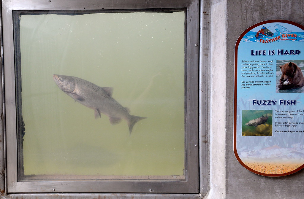 . Just in time for the Salmon Festival, salmon arrive in the Feather River Fish Hatchery fish viewing windows in Oroville, Calif. Friday Sept. 22, 2017. (Bill Husa -- Enterprise-Record)
