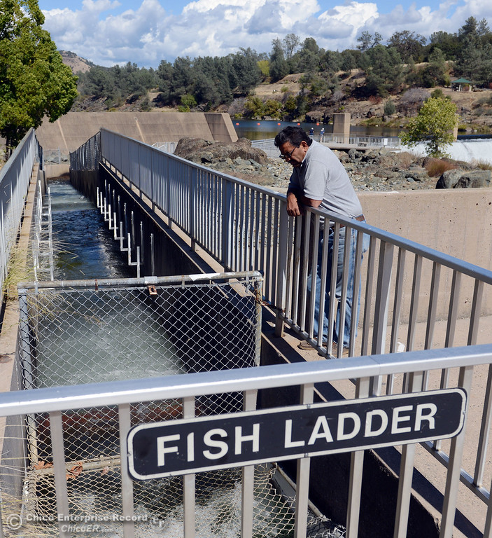 . Rod Martinez, of Oroville, watches the salmon that were jumping up the fish ladder at the Feather River Fish Hatchery Wednesday, September 25, 2013, in Oroville, Calif. This weekend, The Salmon Festival comes to Oroville.  (Jason Halley/Chico Enterprise-Record)