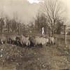 Sheep on the Grounds of the Lynchburg Female Orphan Asylum (03295)