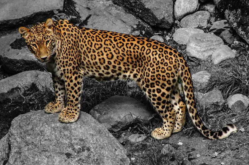 Nordens Ark - Oersicher Leopard