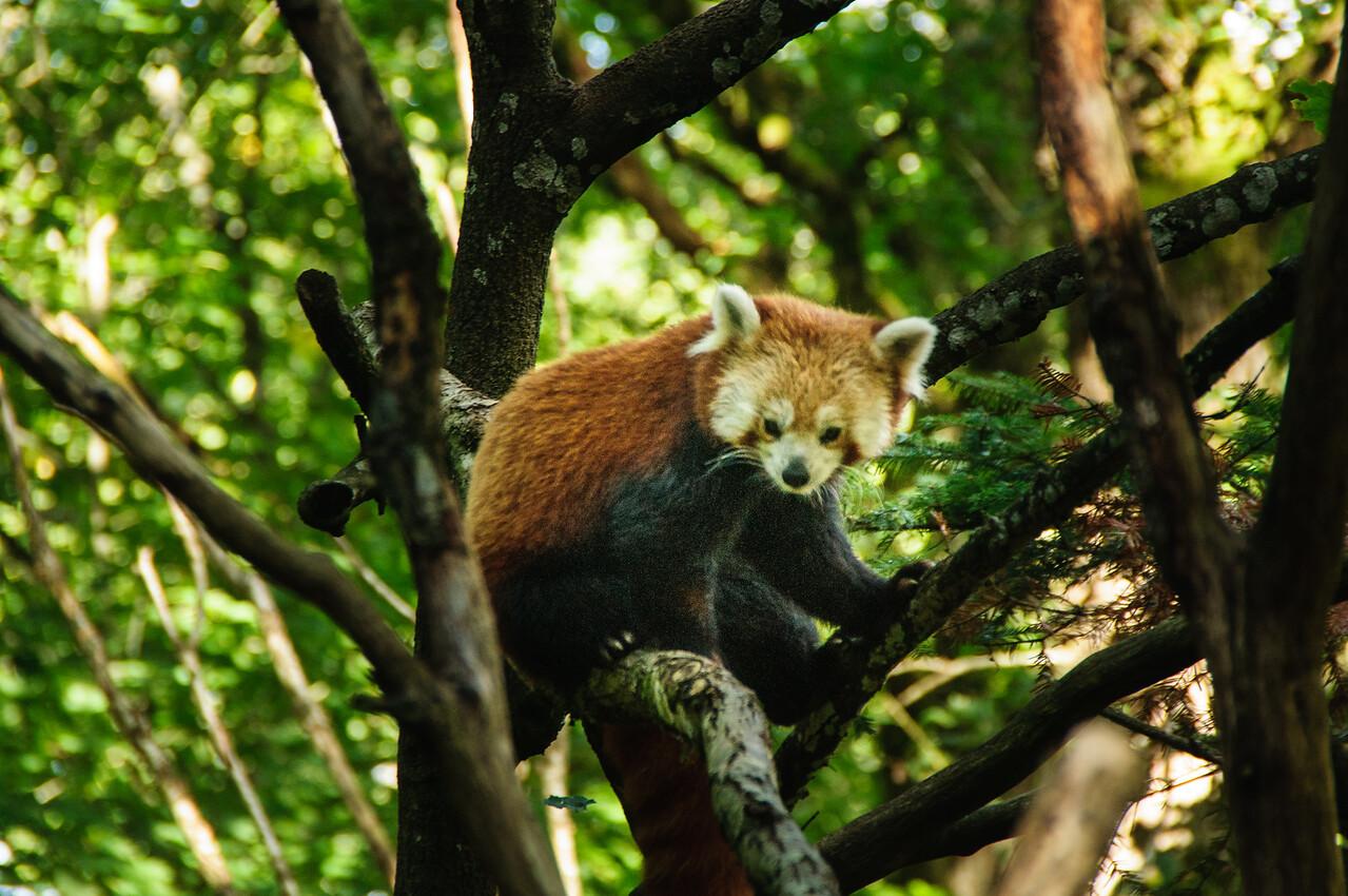Nordens Ark - Roter Panda