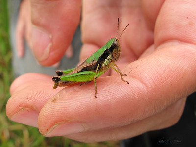 Acrididae - short-horned grasshoppers