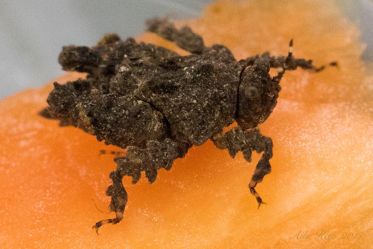 Peraxelpa monstrosa (Tetrigidae)