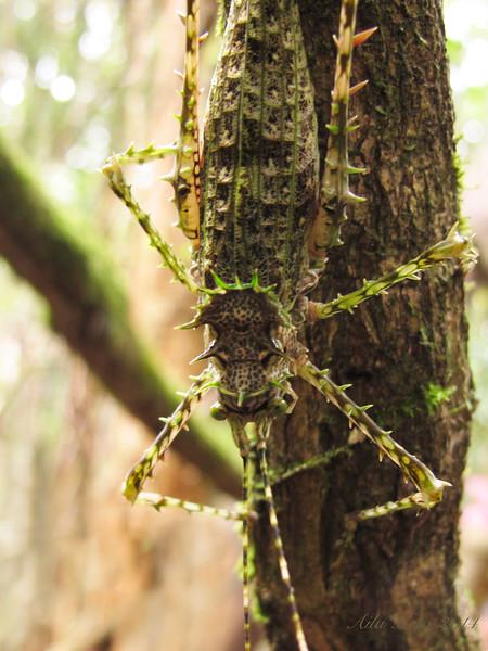 Phricta aberrans Brunner, 1895 (Tettigoniidae)