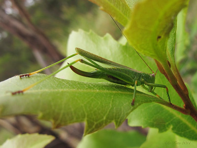 Conocephalomima barameda Rentz, 2001 (Tettigoniidae)