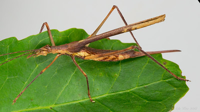 Tettigoniidae - katydids