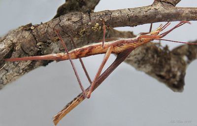 Zaprochilus australis Brullé, 1835 (Tettigoniidae)