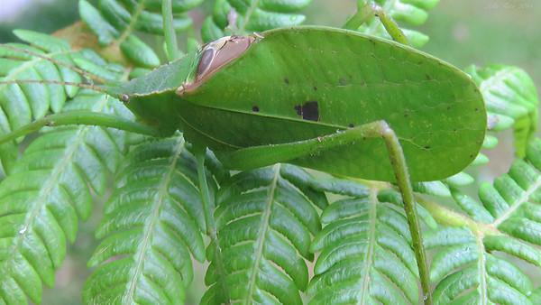 Mastigaphoides haffneri Weidner, 1965 (Tettigoniidae)