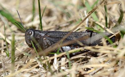 Arphia pseudonietana