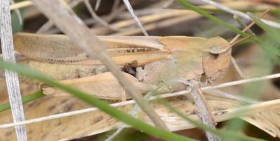 Chortophaga viridifasciata