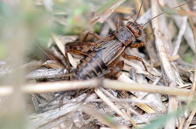 Allonemobius fasciatus