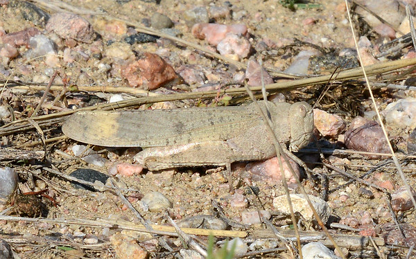 Dissosteira carolina (Carolina Grasshopper)