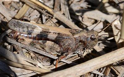 Encoptolophus costalis