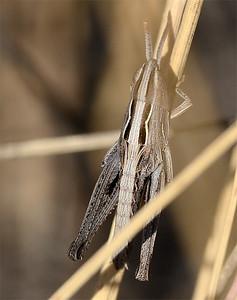 Eritettix simplex