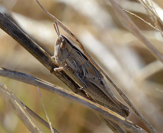 Eritettix simplex (Velvet-striped Grasshopper)