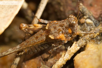 Pygmy Grasshopper