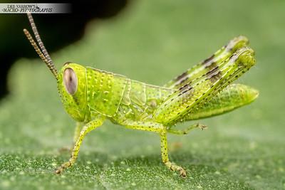 Baby Grasshopper on Cauliflower Leaf