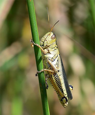 Melanoplus differentialis (Differential Grasshopper)