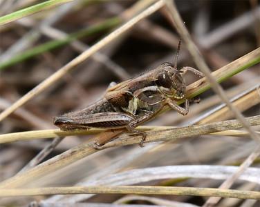 Melanoplus femurrubrum