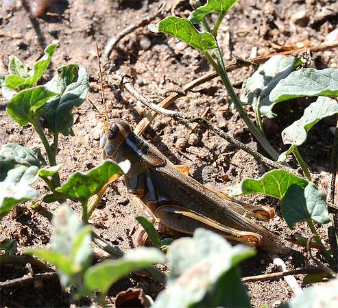 Melanoplus packardii (Packard's Grasshopper)