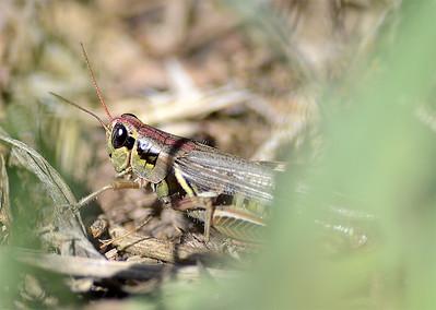 Melanoplus sanguinipes