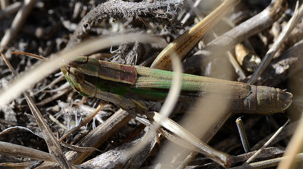 Opeia obscura (Obscure Grasshopper)