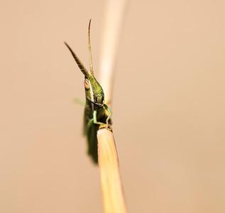 Paropomala wyomingensis