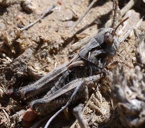 Psoloessa delicatula (Brown-spotted Range Grasshopper)