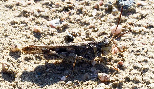 Trachyrhachys kiowa (Kiowa Grasshopper)