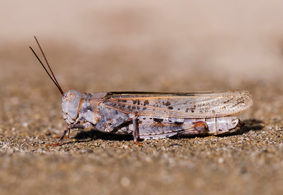 Trimerotropis agrestis