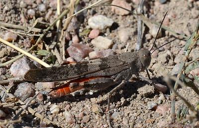 Trimerotropis melanoptera