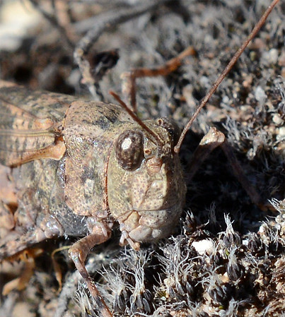 Trimerotropis pallidipennis (Pallid-winged Grasshopper)