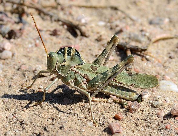 Tropidolophus formosus (Great Crested Grasshopper)