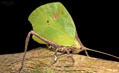 Leaf Katydid (Typophyllum sp.)