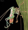 Molting katydid close-up