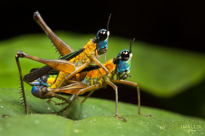 Monkey grasshopper's honey moon (Eumastax vittata napoana)