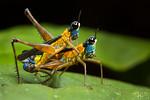 Monkey grasshopper's honey moon (Eumastax vittata napoana)