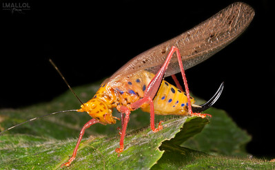 Orange rainbow katydid (Vestria sp.)