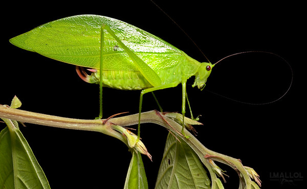Fresh leaf katydid cleaning antenna