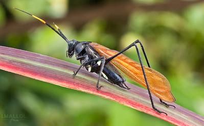 Wasp-mimicking katydid (Aganacris velutina)