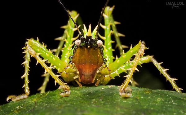Spiny katydid (Panacanthus sp.)