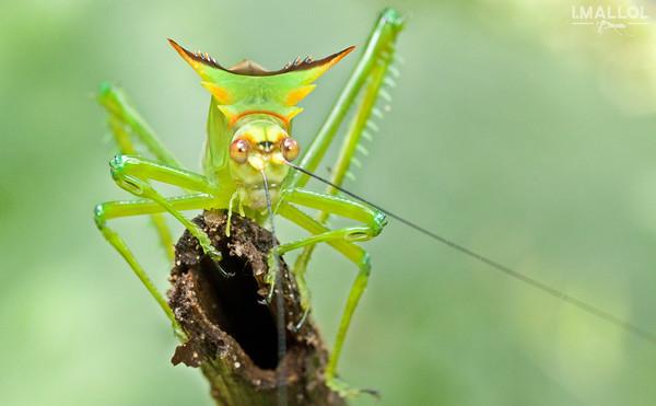 Tibial ears on katydid (Steirodon sp.)