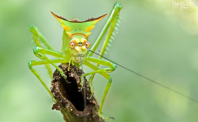 Tibial ears on katydid (Steirodon sp.)