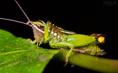 Cute grasshopper cleaning its eyes