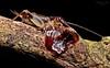 Carnivorous cricket devouring cockroach
